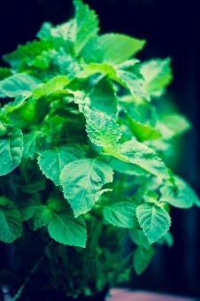 Perilla - Green