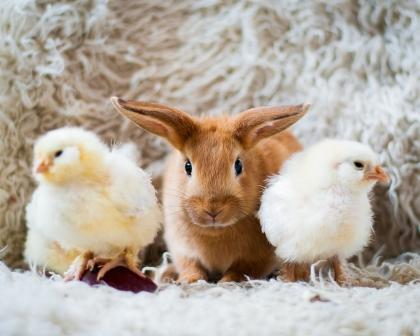 Easter bunnychicks