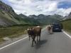 cows hochalpenstrasse ischgl