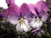 Detaljer bidrag fotosondag fs150503 Viol