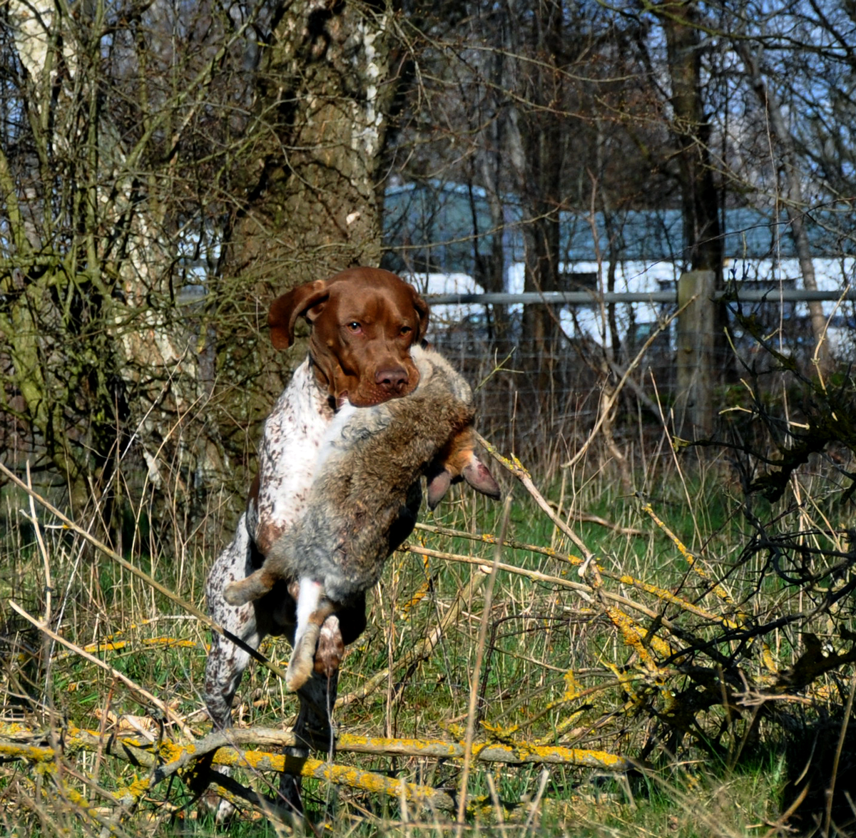 Apportträning i trädgården – med vildkanin