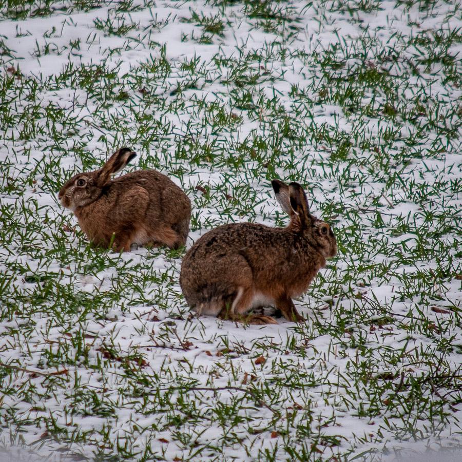 Stroganoff på hare
